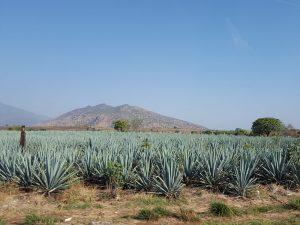 Agavenfeld Unterschied Tequila Mezcal